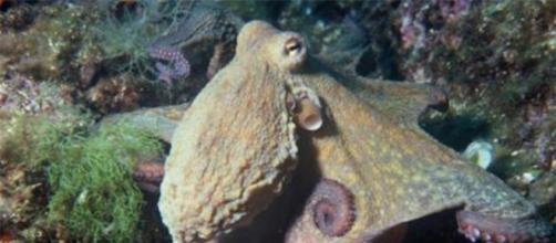 Foto de un Octopus vulgaris en su hábitat natural