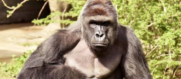 Gorila foi morto após garoto de 4 anos cair em seu cercado