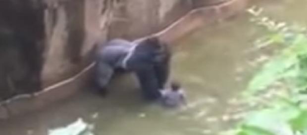 Vídeo do gorila sendo morto nos EUA gerou revolta na internet