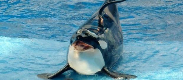 Captive Trained Orca Photo courtesy Flickr