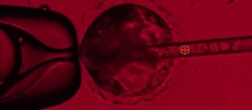 Manipolare un embrione di un maialino per salvare un uomo o uccidere un mezzo essere umano?