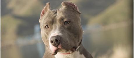 Ataque de pitbull deixa criança em estado grave