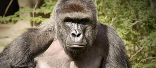 """After Harambe's death, gorilla activists point to """"bigger picture ..."""