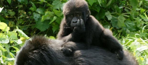 Gorilla's in the wild (Wikipedia)