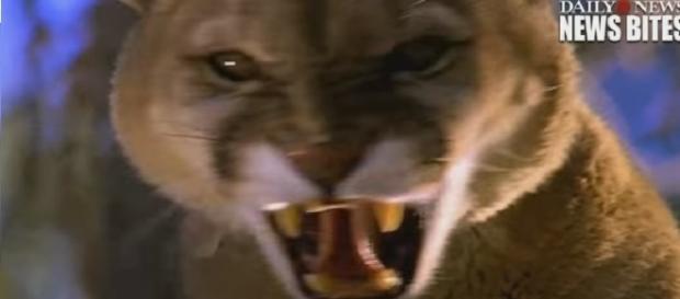 Mãe luta com leão-da-montanha para salvar criança de 5 anos nos Estados Unidos