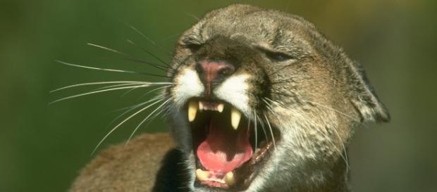O mamă a luptat ca o leoaică și și-a salvat băiatul de 5 ani din ghearele unei pume de munte