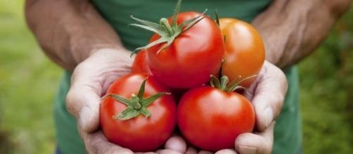 O tomate pode perder a cor, a textura e o sabor se armazenado na geladeira