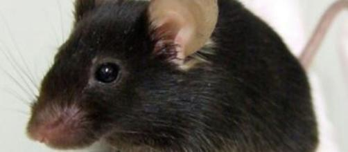 Japanese Create A Mutant Mouse That Tweets Like a Bird | Popular ... - popsci.com