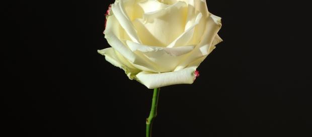 Rose jaune, photographie de Jacques Hampé
