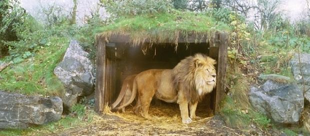 The Mighty African Lion in Sanctuary / Photo creative commons, via Wikipedia