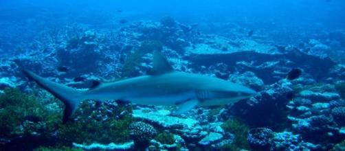 Gray reef sharks patrolling coral reef. Photo: NOAA Public Domain image.