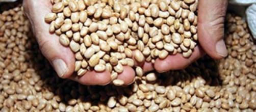 Lavouras de feijão são alvos de ladrões no Sul de Minas e na Bahia