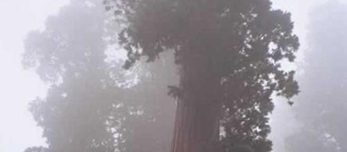 Sequoia tree at Sequoia National Forest, Forestry Service, https://en.wikipedia.org/wiki/File:Long_Meadow_Grove_CA.jpg