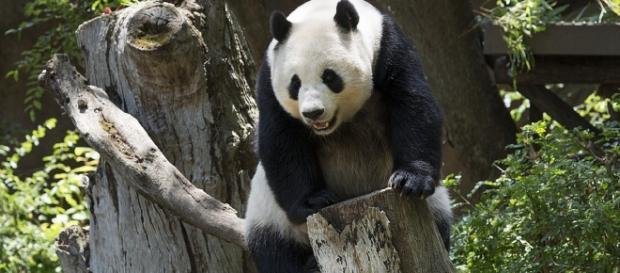 Apesar de seu nome, o panda-vermelho é da família dos guaxinins e dos quatis