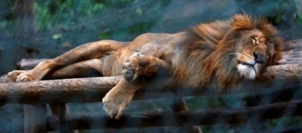 Leão morre de fome em zoológico