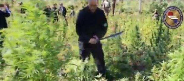 Ministro da Justiça usa facão contra pés de maconha