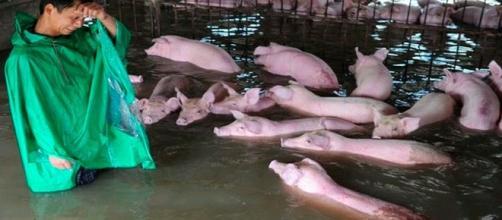 Precisos momentos donde el granjero Li Zuming se despide de algunos cerdos. (Foto: China Stringer NetworkReuters)