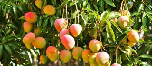 Una temporada de mangos para mitigar el hambre del venezolano
