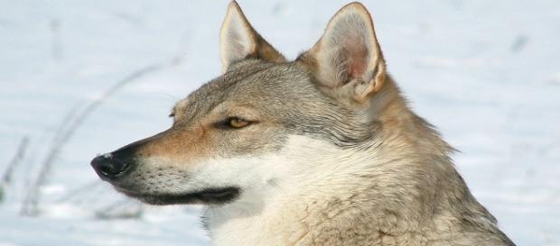 Lupo cecoslovacco, la cagnolina Artax appartiene a tale razza