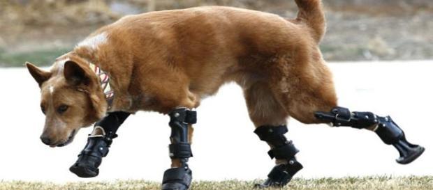 Naki'o, o único cão biônico do mundo