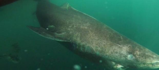 Imagem de animal foi encontrado próximo ao mar da Groelândia