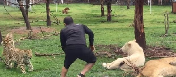 Cuidador de felinos quase é atacado