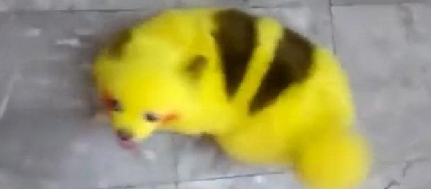 Filhote aparece em vídeo nas cores do Pikachu, internautas reprovaram ação do dono