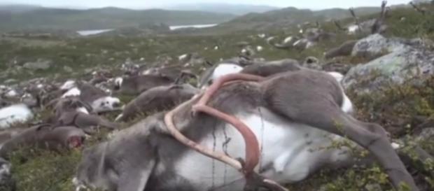 Centenas de renas foram encontradas mortas na Noruega (Foto: YouTube/BASTUMIXT)