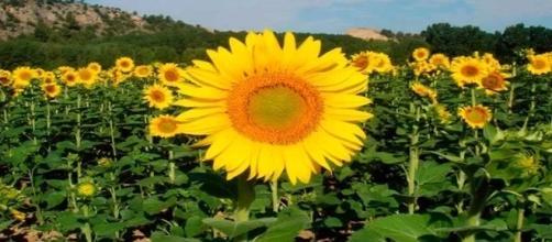Que o girassol acompanhava o sol, todos sabíamos, mas por que isso acontece?