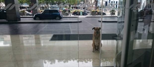 Cachorro se apaixonou por comissária e a esperou por meses na porta de um hotel