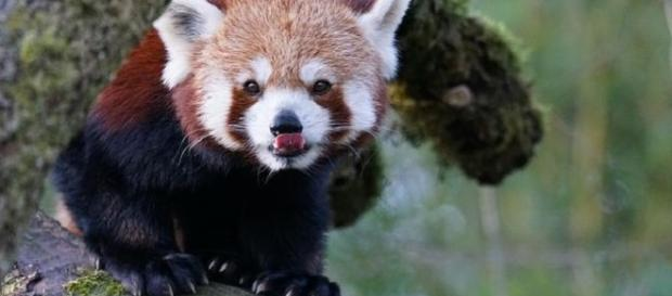 Birth of twin red panda is a rare event [Image: Pixabay.com]