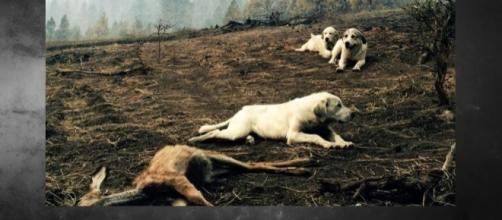 Family's dogs guard body of dead fawn after wildfire. Photo: Boise State Public Radio via Louis Armstrong
