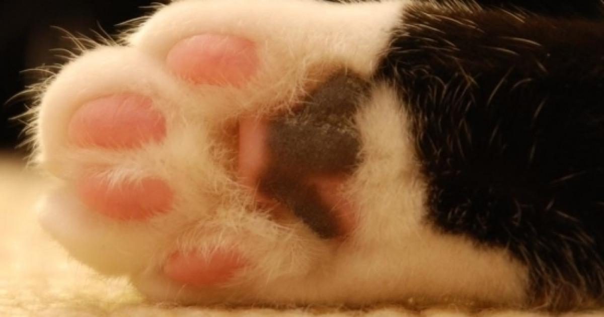 La Malattia Da Graffio Rischiosa Per La Salute Di Chi Ha Un Gatto