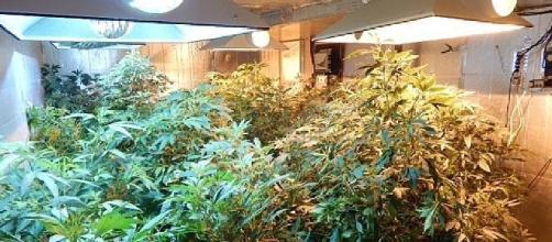 La tipica serra per la coltivazione di Marijuana