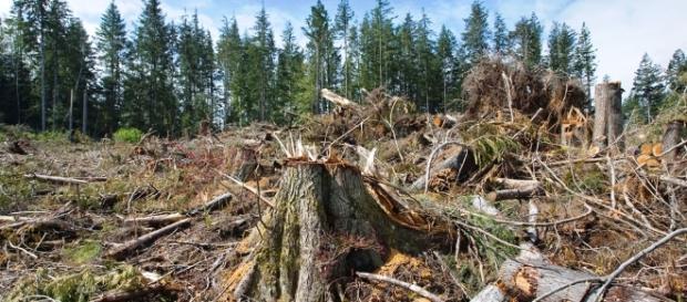 Defrișările ilegale și corupția au distrus pădurile României