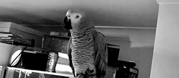 Amazing African Grey Parrot Talking, Spelling. / Photo screencap via riacarroll, Youtube.om
