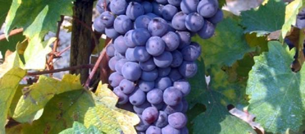 Grappoli d'uva Grignolino d'Asti