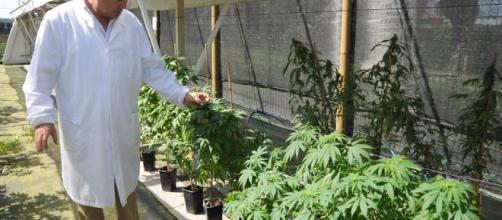 Cannabis prodotta nello Stabilimento farmaceutico militare di Firenze