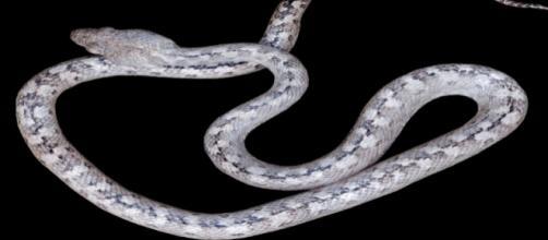Le serpent fantôme de Madagascar