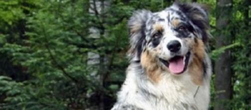Animal cruelty is never allowed. by httpscommons.wikimedia.orgwikiAustralian_Shepherd#mediaFileAussi.jpg;