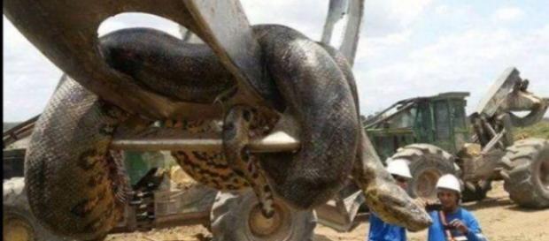 Podría tratarse de la anaconda más grande del mundo