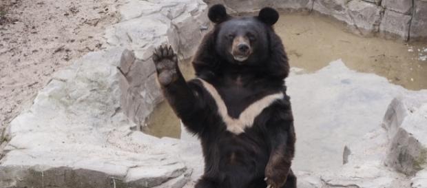 Un oso tibetano atacó a un hombre de 63 años de edad en Japón.