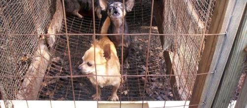 Dogs suffer in puppy mills! by https://commons.wikimedia.org/wiki/Category:Puppy_mills#/media/File:Puppy_mill_01.jpg;