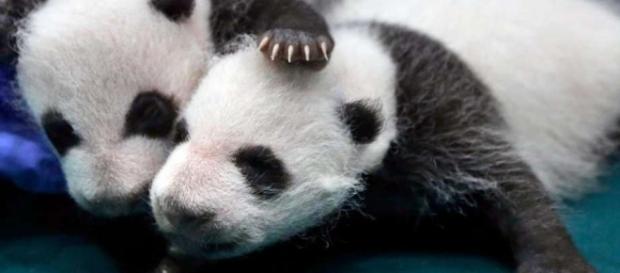 Giant panda is no longer endangered, experts say - seattlepi.com - seattlepi.com