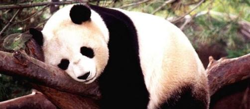 Il panda gigante non è più a rischio di estinzione- green.it