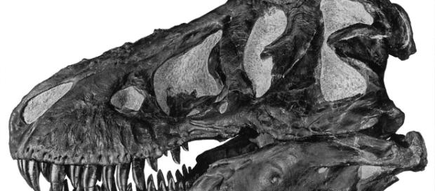 Tyrannosaurus-Schädel, A.E. Anderson - http://digitallibrary.amnh.org/dspace/handle/2246/49 (Gemeinfrei/Wikimedia)