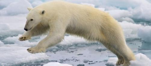 Polar bear jumping over ice floes. Wikimedia - Arturo de Frias Marques