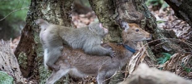 Jovem macaco é flagrado tentando fazer sexo com veado