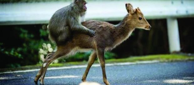 O macaco japonês da Ilha de Yakushima, no sul do país, foi filmado várias vezes montando em ao menos duas cervas Sika
