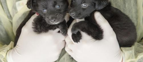 Two of the 19 puppies taken from woman accused of setting up fake pet rescue group. - ocregister.com